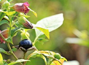 belladonna-omeoroma