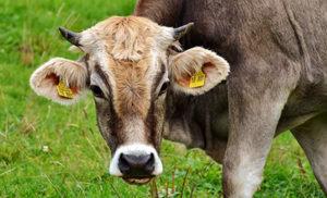 cow-2788835_640