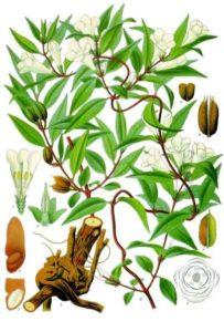 Gelsemium_sempervirens_-_Köhler–s_Medizinal-Pflanzen-065